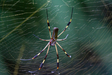 Nephila, golden banana spider in costa rica