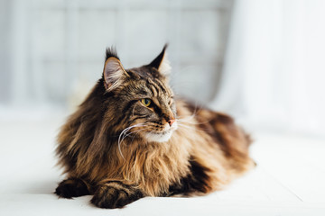 Wall Mural - Maine Coon cat on white background