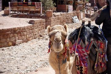 Camel - Kamel - Bunt