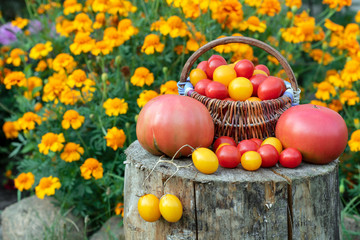 Colorful tomatoes, red, yellow, orange on rustic wooden background. Cherry tomatoes in basket. Place for text.