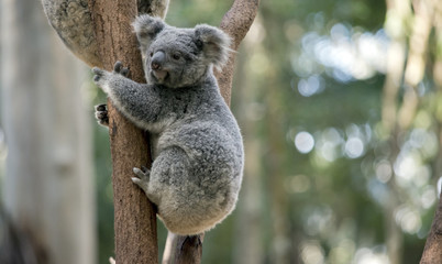 Photo sur Toile Koala joey koala
