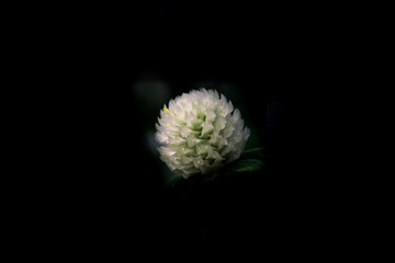 Globe Amaranth on black background