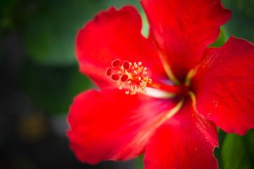 Close up Beautiful red hibiscus