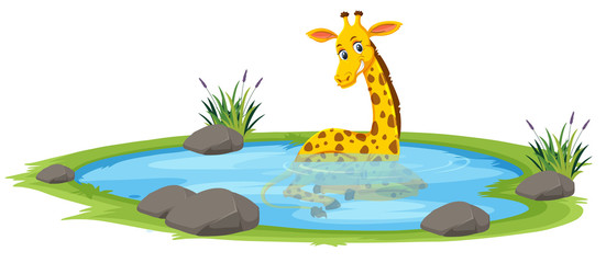 Giraffe playing in the pond