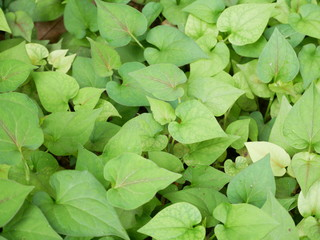 green plant background,nature leaf