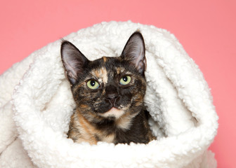Portrait of an adorable tortie tabby kitten peaking out of a sheepskin blanket looking directly at viewer, pink background.