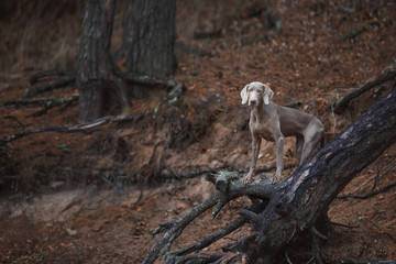 Dog of the Weimaraner breed in the autumn forest