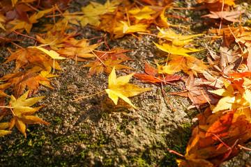 Autumn leaves on the stone pavement.  石畳の上のもみじ Wall mural
