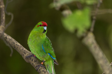 Red-crowned parakeet, or kakariki, perched on a branch in Wellington, New Zealand.