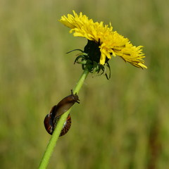Brown snail crawling along the stalk of a dandelion with a yellow flower close-up