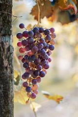 Uva delle colline novaresi quasi pronta per la vendemmia, Suno e Mezzomerico, Novara, Piemonte, Italia