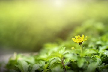 Blooming yellow flower in the morning on beautiful bokeh background