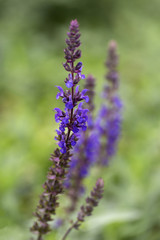 Woodland sage (Salvia nemorosa), flowering