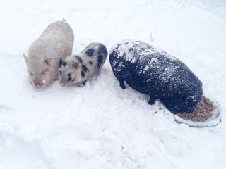 Three Chinese-Vietnamese piglets covered with hoarfrost eat porridge from basin in  snow. Cold snowy winter. 2019 year of the yellow pig. Christmas Eve. Farmer's swine farm in South of Russia