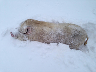 Piglet breed Chinese Vietnamese covered with ice and hoarfrost. Pig stuck in the snow after a blizzard and needed help. Christmas Eve. 2019 Year Yellow Pig
