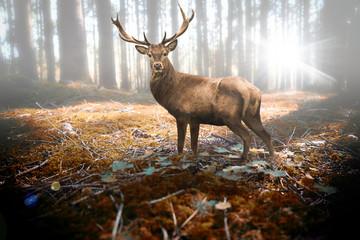 Hirsch im herbstlichen Wald bei Sonneneinfall