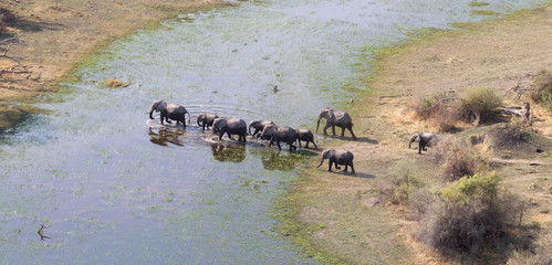 Elephant family crossing water in the Okavango delta (Botswana)