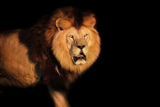 Lion Berber on a black background
