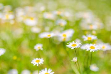 Nature background, meadow and flowers field. Summer daisy flowers