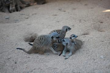 Suricato - dolce famiglia di suricati proteggono i loro cuccioli i due genitori si danno un bacio