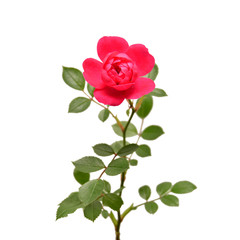 Beautiful flower pink rose isolated on white background. Wedding card. Greeting. Summer. Spring. Flat lay, top view. Love. Valentine's Day