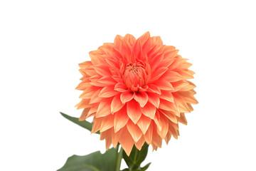 Flower of beautiful orange dahlia macro nature isolated on white background. Floral pattern, object. Botanical, concept, idea.