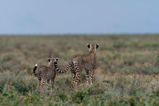 A female cheetah (Acinonyx jubatus) and its cub surveying the savannah, Ndutu, Ngorongoro Conservation Area, Serengeti, Tanzania