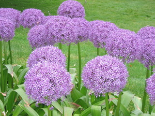 Big puffy purple flower at the park also referred to as allium or allium giganteum or flowering onion