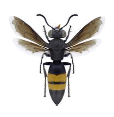 Wasp Stizoides tridentatus on a white background