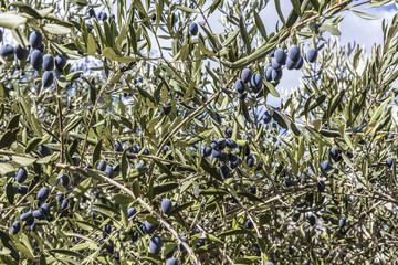 branch of olive tree with ripe blue berries
