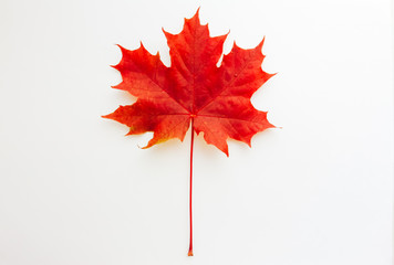 Red maple leaf isolated on white background. Fall foliage concept. Meet Autumn, September, October, November