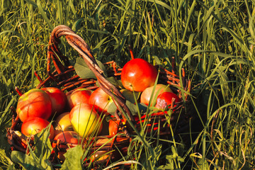 Apple picking, harvest concept. Ripe apples in shabby basket surrounded by grass. Horticulture, orchard, greenery, august, september