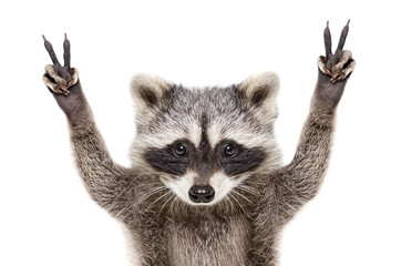 Portrait of a funny raccoon, showing a sign peace, isolated on white background Wall mural