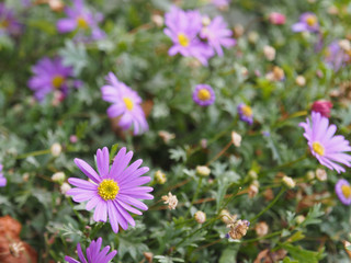 The violet Aster, a flower withe violet petals and yellow center, bloom in the garden in autumn time, blooming flowers.