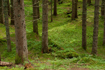alpine forest of firs