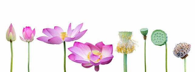 Acrylic Prints Lotus flower lotus collection on white