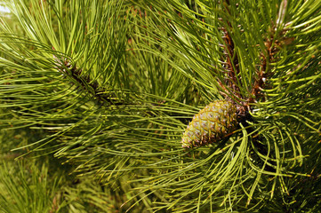 A tree with exceptionally long, decorative needles and impressive cones.  Pinus nigra.