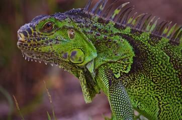 Close up of a large green iguana