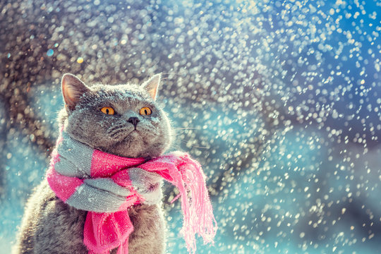 Portrait of a blue British Shorthair cat wearing the knitted scarf. Cat sitting outdoors in the snow in winter during snowfall