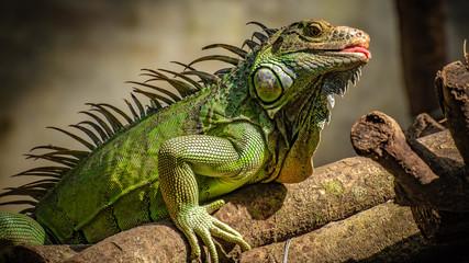 Green Iguana Lizard