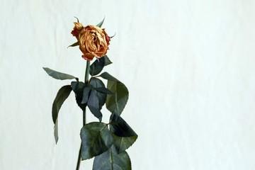 zwiędła róża na jasnym tle