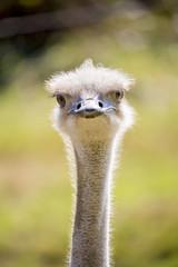 Portrait d'autruche