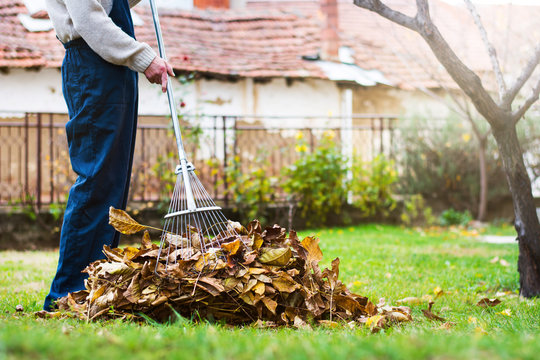 Man collecting fallen autumn leaves in the yard