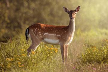 Photo sur Aluminium Antilope Beautiful doe on flowery field