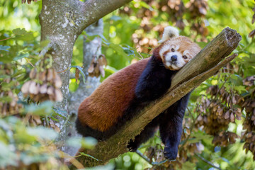 Petit panda roux perché dans un arbre