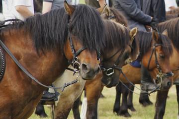 portret gniadego konia przed zawodami jeździeckimi