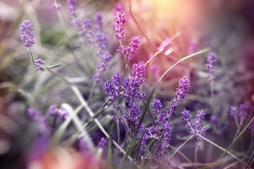 Soft focus on beautiful lavender flower, beautiful lavender in flower garden