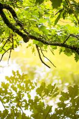 Feuilles de chênes se reflétant sur l'eau