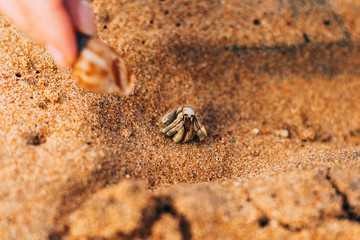 Lancian crab hermit on the beach of the Indian Ocean looking for her shell. Sri Lanka, Asia