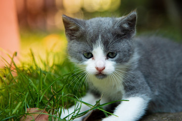 Portrait of a beautiful little kitten outdoor.